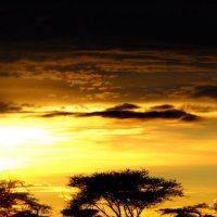 Acacia Silhouette